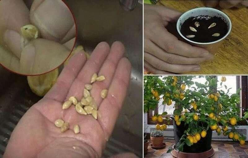 семена апельсин из китая что выросло фото весь славный спасательный